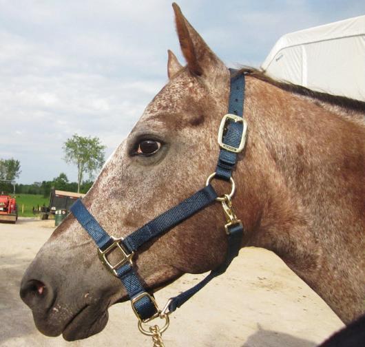 Pet Disaster Tip #35: Horse Halters
